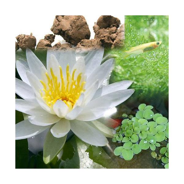 (ビオトープ/睡蓮)ビオ植物とメダカセット 睡蓮(スイレン) 白 鉢なしセット 本州・四国限定
