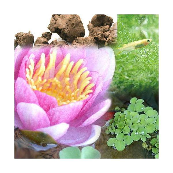 (ビオトープ/睡蓮)ビオ植物とメダカセット 睡蓮(スイレン) 桃 鉢なしセット 本州・四国限定