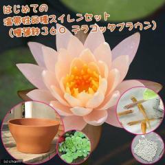 (ビオトープ/睡蓮)はじめての温帯性品種スイレンセット(睡蓮鉢(スイレン鉢)360 テラコッタブラウン) 説明書付 本州・四国限定