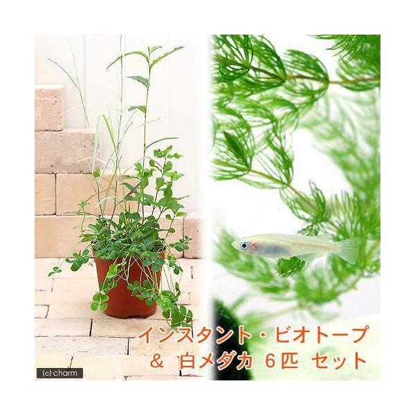 (ビオトープ/水辺植物)(淡水魚)インスタント・ビオトープ+白メダカ(6匹) 説明書付 本州四国限定