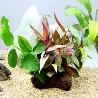 (水草)クリスマスカラーの水上葉セット 穴あき溶岩石付(無農薬)(1個) 北海道航空便要保温