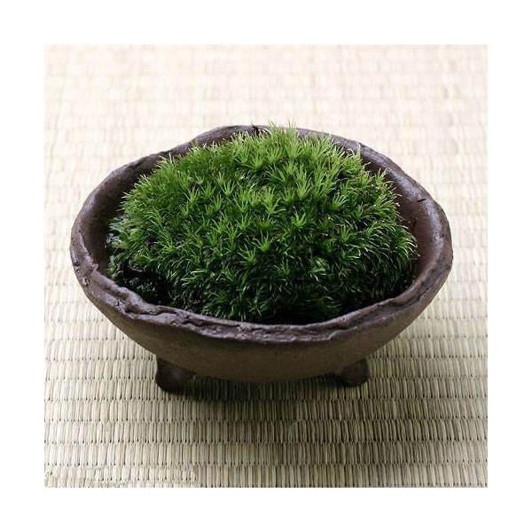 (観葉植物/苔)私の小さな苔盆栽 ~わびさび益子焼 赤楽~ 本州・四国限定