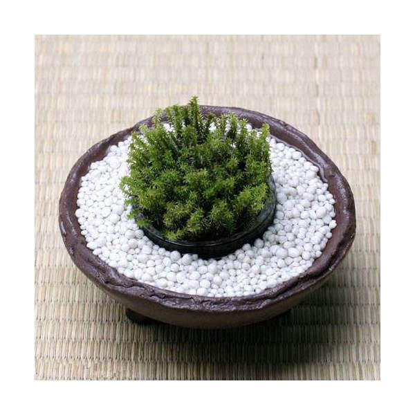 (観葉植物/苔)私の小さな苔盆栽 ~わびさび益子焼 赤楽と白砂利~ 本州・四国限定
