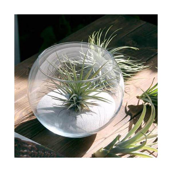 (観葉植物)私のオアシス エアープランツと白い砂