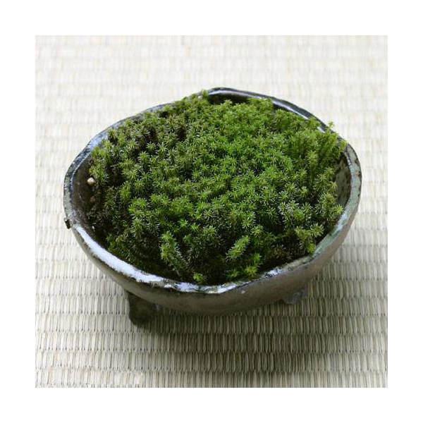 (観葉植物/苔)私の小さな苔盆栽 ~わびさび益子焼 炭化~ 本州・四国限定