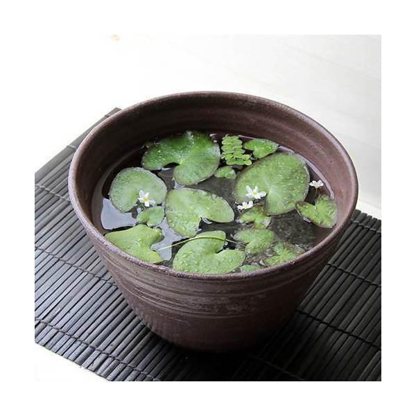 (ビオトープ)私の小さなアクアリウム ~ときめき ヒメシロアサザの小さな白い花(益子焼 姫睡蓮鉢 彩 赤楽)~ 本州・四国限定