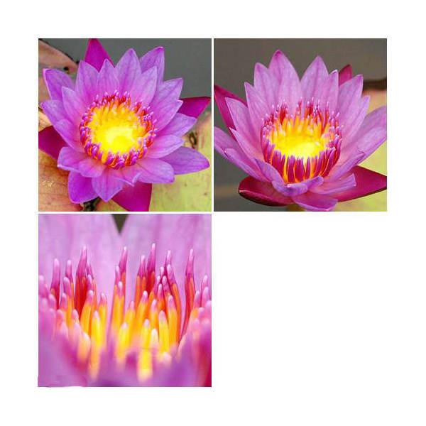 (ビオトープ)睡蓮 おまかせ熱帯性品種睡蓮(スイレン) 紫系(1ポット)(休眠株)