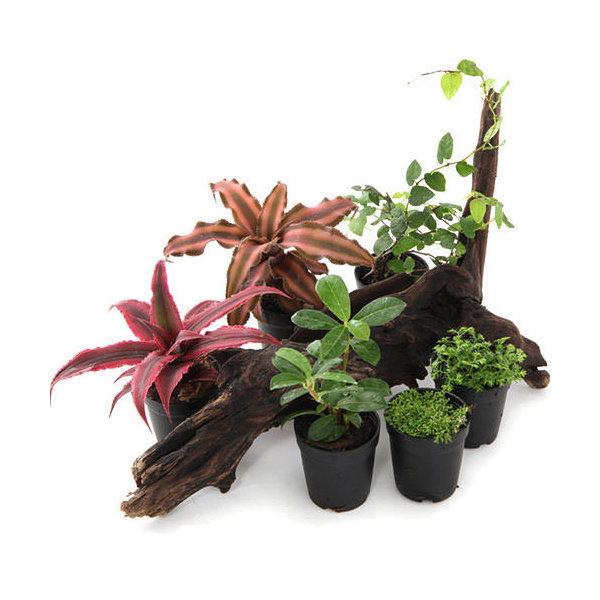 (観葉植物)ビバリウムプランツ 品種おまかせ 4cmポット入り(1ポット)