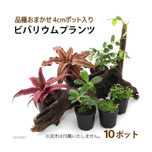 (観葉植物)ビバリウムプランツ 品種おまかせ 4cmポット入り(お買い得10ポットセット)