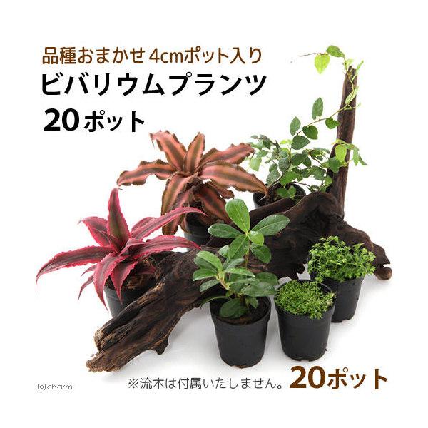 (観葉植物)ビバリウムプランツ 品種おまかせ 4cmポット入り(お買い得20ポットセット) 沖縄別途送料