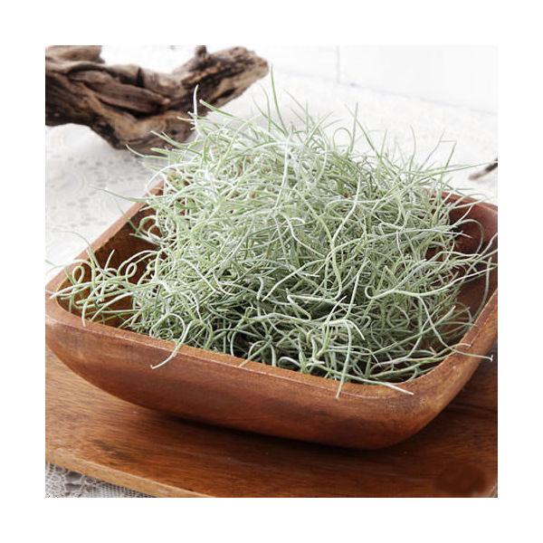 (観葉植物)エアープランツ ティランジア ウスネオイデス ファインシルバー(1束分)