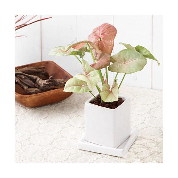 (観葉植物)おまかせ観葉植物 陶器鉢植え ニューダイスS WH( 3鉢セット) 受け皿付き