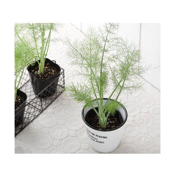 (観葉植物)ハーブ苗 フェンネル(品種おまかせ) 3号(1ポット) 家庭菜園