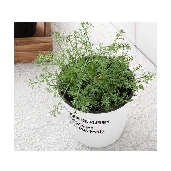 (観葉植物)ハーブ苗 カモミール(品種おまかせ) 3号(お買い得3ポットセット) 家庭菜園