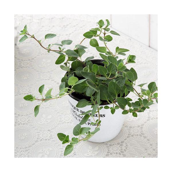 (観葉植物)ハーブ苗 オレガノ(品種おまかせ) 3号(1ポット) 家庭菜園