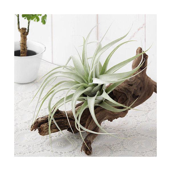 (観葉植物)エアープランツ ティランジア キセログラフィカ Sサイズ 広がりタイプ(1株)