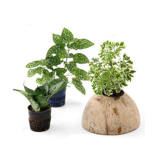 (観葉植物)ココナッツシェルター 観葉植物付き 入り口無しタイプ(1セット) 沖縄不可