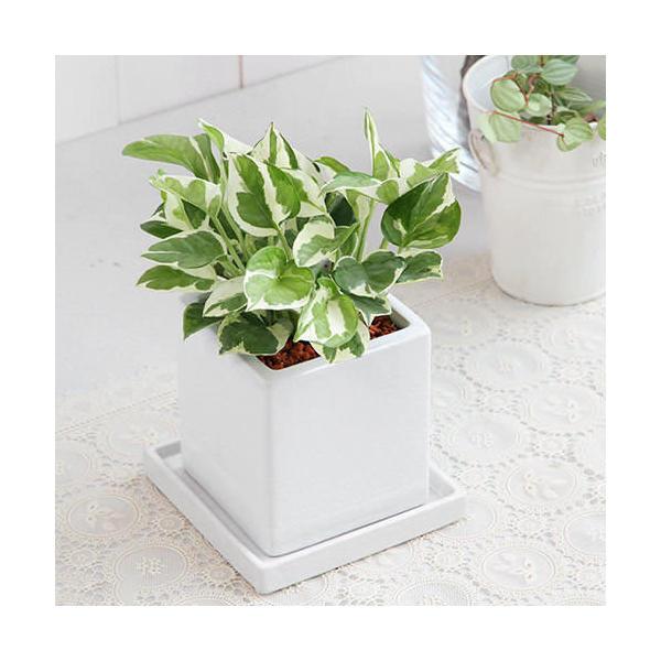 (観葉植物)ポトス エンジョイ 陶器鉢植え ダイスM WH(1鉢) 受け皿付き
