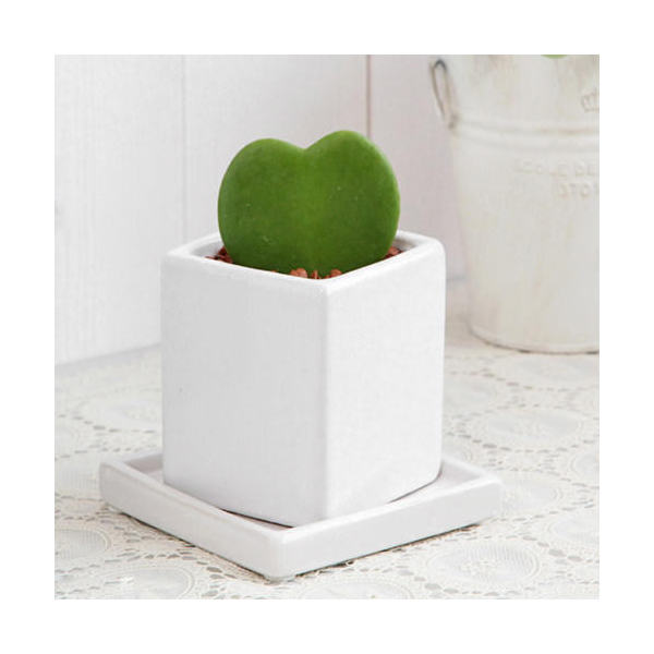 (観葉植物)ホヤ ラブラブハート 緑 陶器鉢植え ニューダイスS WH(1鉢) 受け皿付き