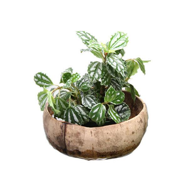 (観葉植物)水槽掛け型 ウォールハーフココナッツ おまかせ苗セット(1セット)