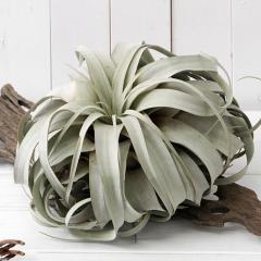 (観葉植物)エアープランツ ティランジア キセログラフィカ Gサイズ(1株) 沖縄別途送料