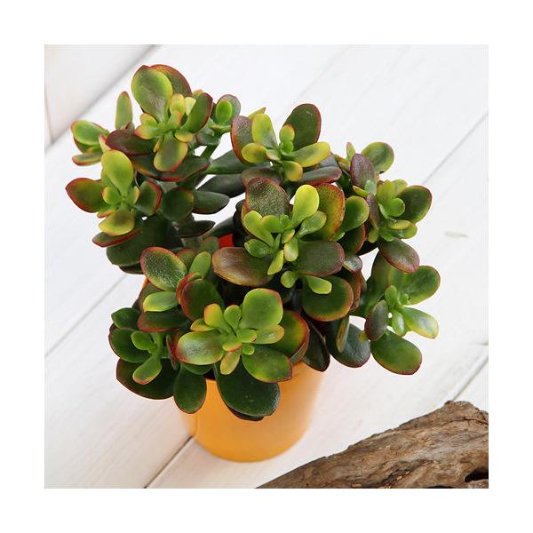 (観葉植物)クラッスラ ヒメオウゴンカゲツ(姫黄金花月) 3.5号(1鉢)