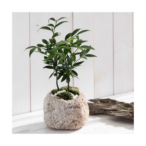 (山野草/盆栽)山野草盆栽 抗火石鉢植え ナギ Mサイズ(1鉢)