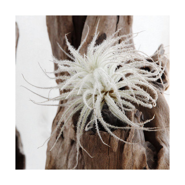 (観葉植物)エアープランツ ティランジア テクトラム Sサイズ(1株)