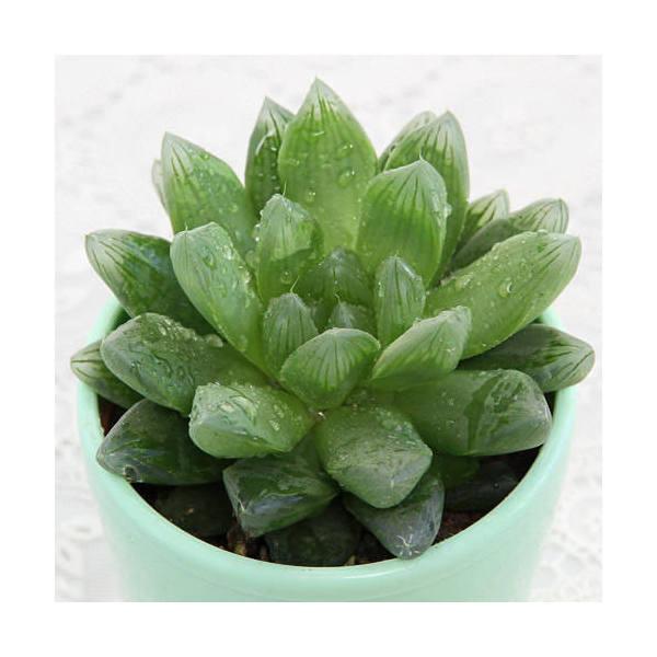 (観葉植物)ハオルチア サラダ菜(品種おまかせ) 3号(5鉢)