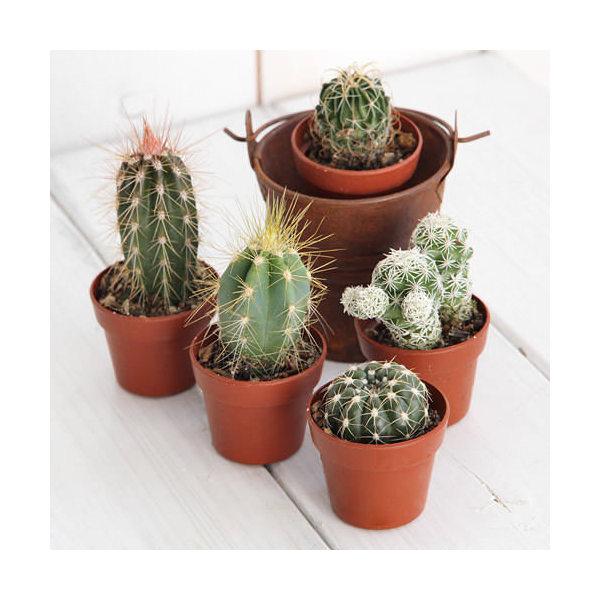 (観葉植物)おまかせプチサボテン 3cm硬質ポット植え( 5ポットセット)