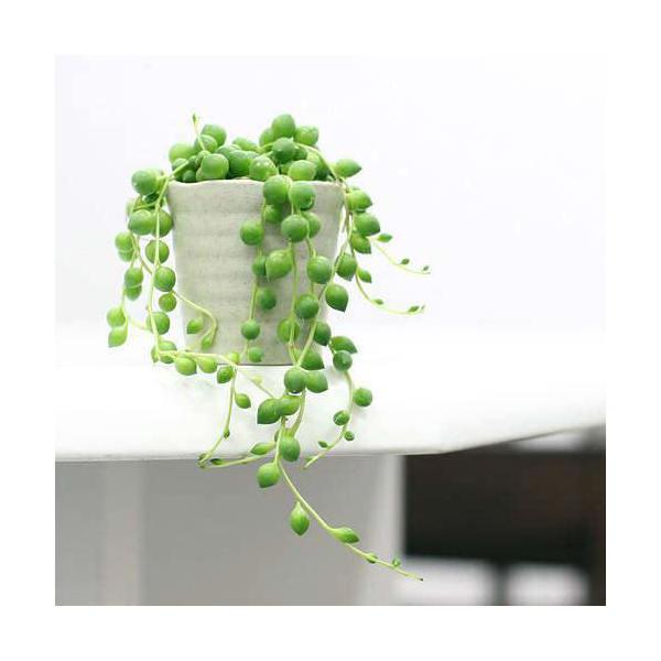 (観葉植物)グリーンネックレス 2.5号(お買い得3鉢セット)