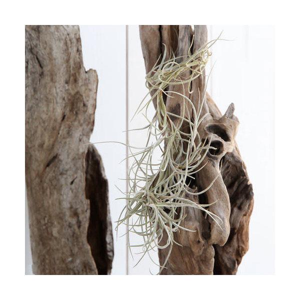 (観葉植物)エアープランツ ティランジア バンデンシス×ウスネオイデス(1株)