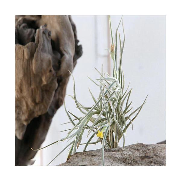 (観葉植物)エアープランツ ティランジア クロカータ×ウスネオイデス(1株)