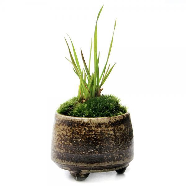 (山野草/盆栽)苔盆栽 おまかせ益子焼鉢植え コバンソウ(タワラムギ) 丸型 小(1鉢)