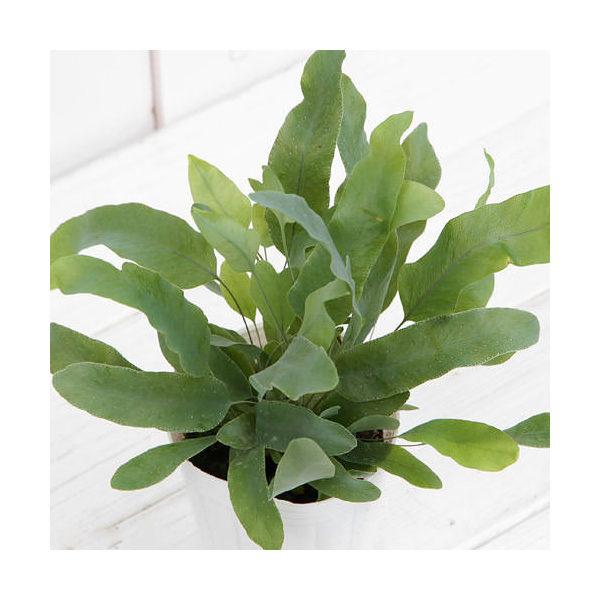 (観葉植物)シダ フレボディウム オーレウム ブルースター 3号(1ポット) 北海道冬期発送不可