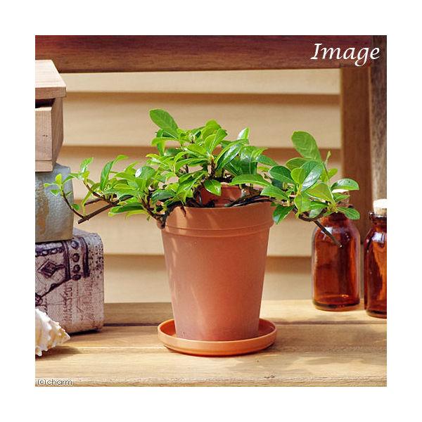 (観葉植物)フィカス シャングリラ(つる性ガジュマル) 2号ロング(1鉢) 受け皿無し
