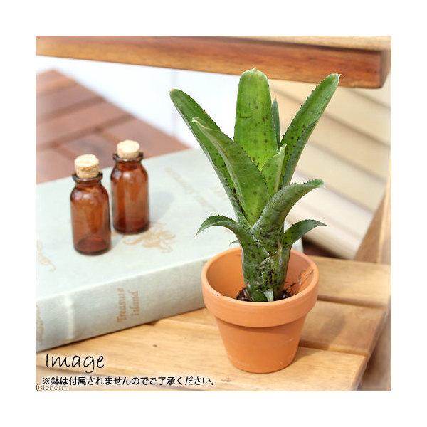 (観葉植物)ビバリウムプランツ ブロメリア ネオレゲリア パウシフロラ 4cmポット入り(1ポット)