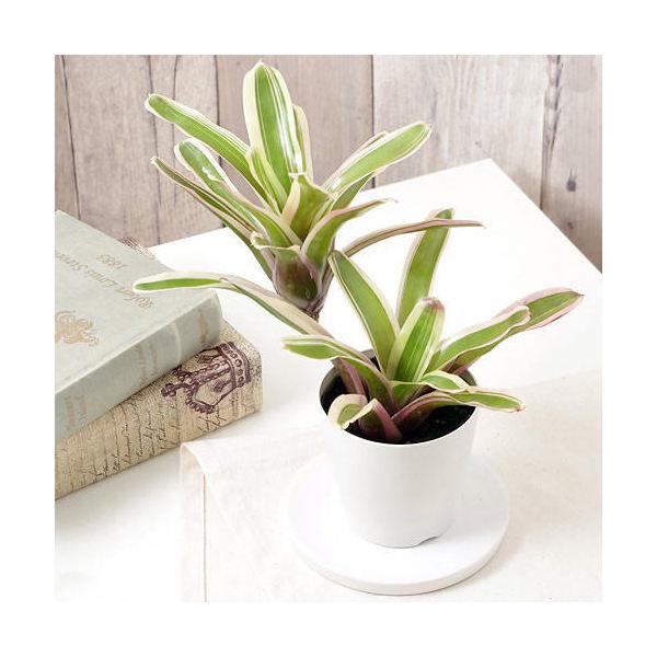 (観葉植物)ブロメリア ネオレゲリア ファイヤーボール 斑入り 3.5号(1鉢)