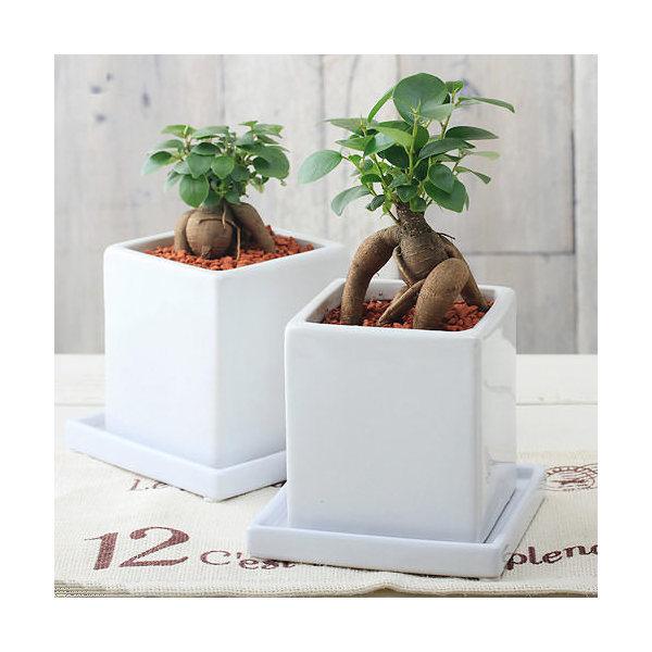 (観葉植物)ガジュマル 陶器鉢植え ダイスM WH(1鉢) 受け皿付き