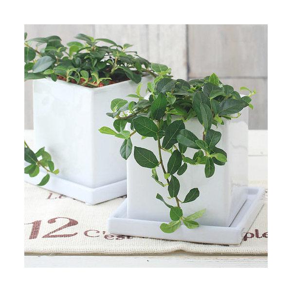 (観葉植物)這性ガジュマル フィカス シャングリラ ダイスM WH(1鉢) 受け皿付き
