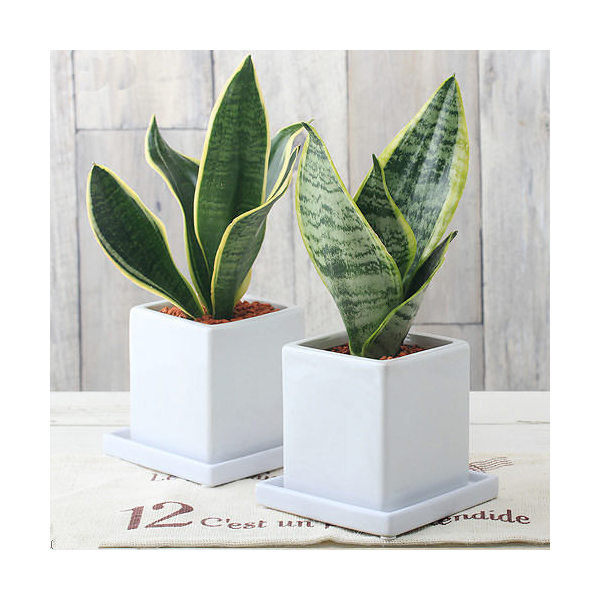 (観葉植物)サンスベリア 陶器鉢植え ダイスM WH(1鉢) 受け皿付き