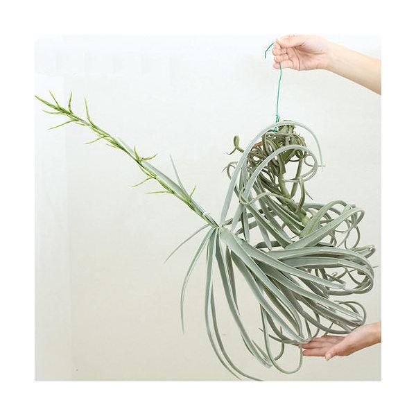 (観葉植物)エアープランツ ティランジア ドーラティ XLサイズ(1株) 沖縄別途送料