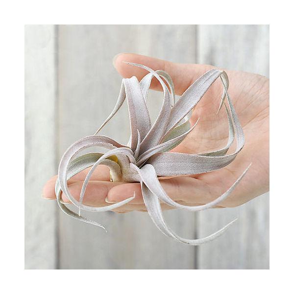 (観葉植物)エアープランツ ティランジア チアペンシス(1株) 北海道冬期発送不可
