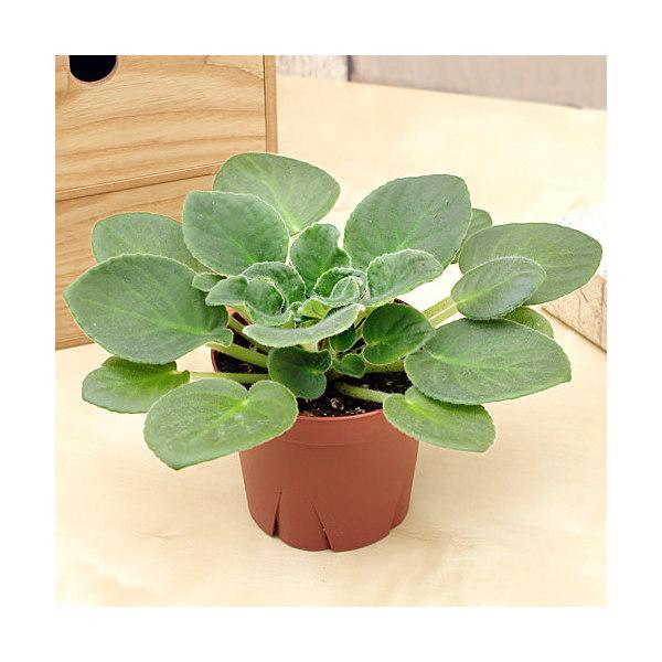 (観葉植物)セントポーリア(品種おまかせ) 3.5号(1鉢) 花無し株