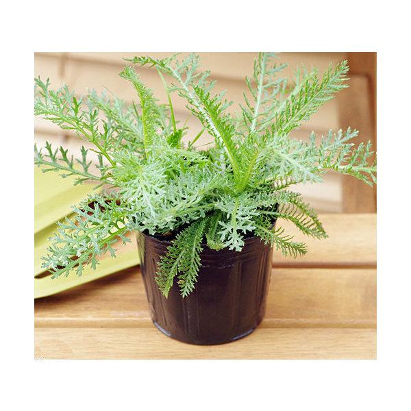 (観葉植物)ハーブ苗 ヤロウ(品種おまかせ) 3号(お買い得3ポットセット) 家庭菜園