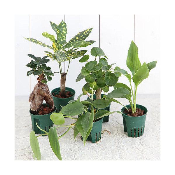 (観葉植物)おまかせハイドロ苗6φ・Mサイズ( 5ポットセット) 北海道冬期発送不可
