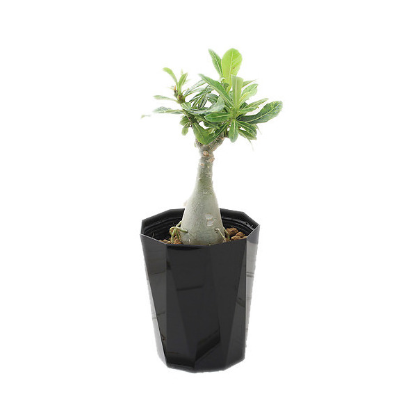 (観葉植物)アデニウム 天空のバラ 白花 八重咲き 4号(1鉢)