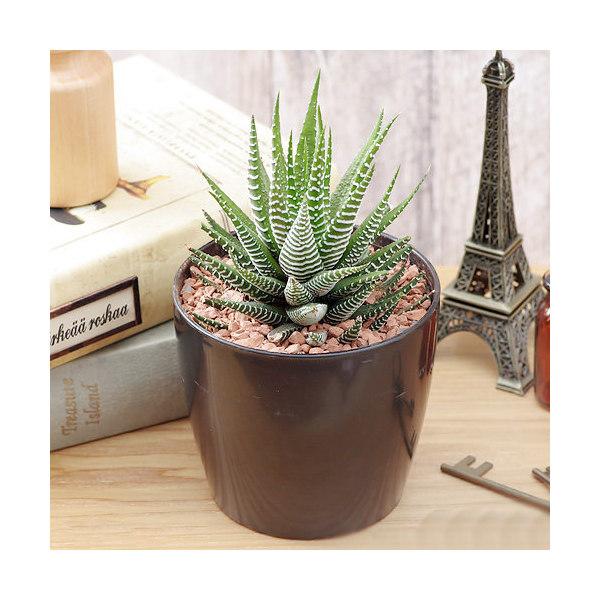 (観葉植物)ハオルチア ファシアータ シマシマゼブラ(十二の巻) 3号(1鉢)
