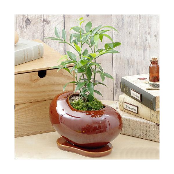 (観葉植物)ナギ 陶器鉢植え ビーンズS 茶(1鉢) 受け皿付き
