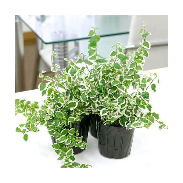 (観葉植物)フィカス プミラ サニーホワイト 3号(3ポット) 北海道冬期発送不可